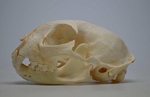 Real Bone Bobcat Skull for $<!--$30.00-->