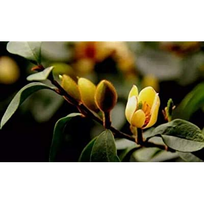 Live Plant Banana Shrub (Michelia Figo) 1 Pcs MG009 : Garden & Outdoor