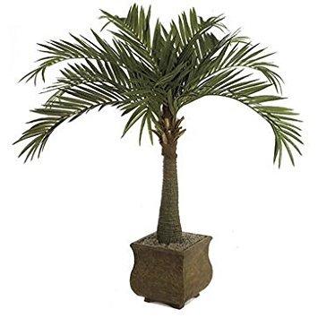 Royal Palm Tree 10 Seeds (Roystonea regia) House (Palm Tree Seedling)