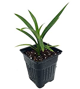"Pandan Spice Plant - Amaryllifolius pandanus - Grow Indoors or Out - 4"" Pot"
