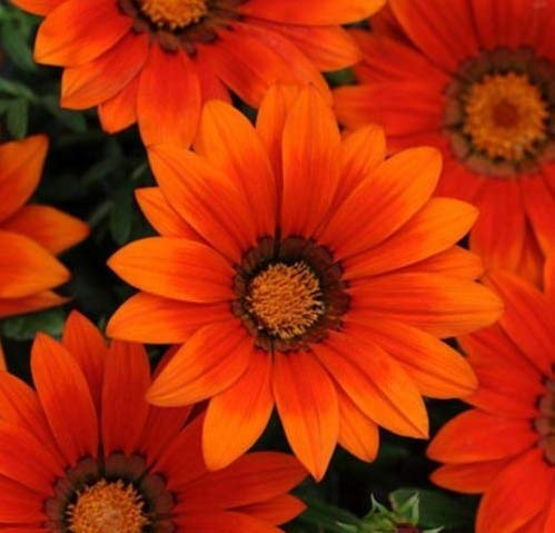 Fresh Gazania 25 Seeds - New Day Bronze Shades ()