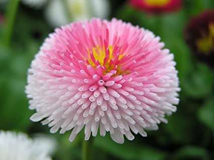 ab6fff394ebc Amazon.com   100 PINK ENGLISH DAISY SEEDS (Bellis Perennis  Tasso ...