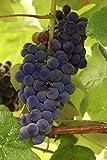 Mars Seedless Grape Vine Live Plants, Blue, 1 Gallon