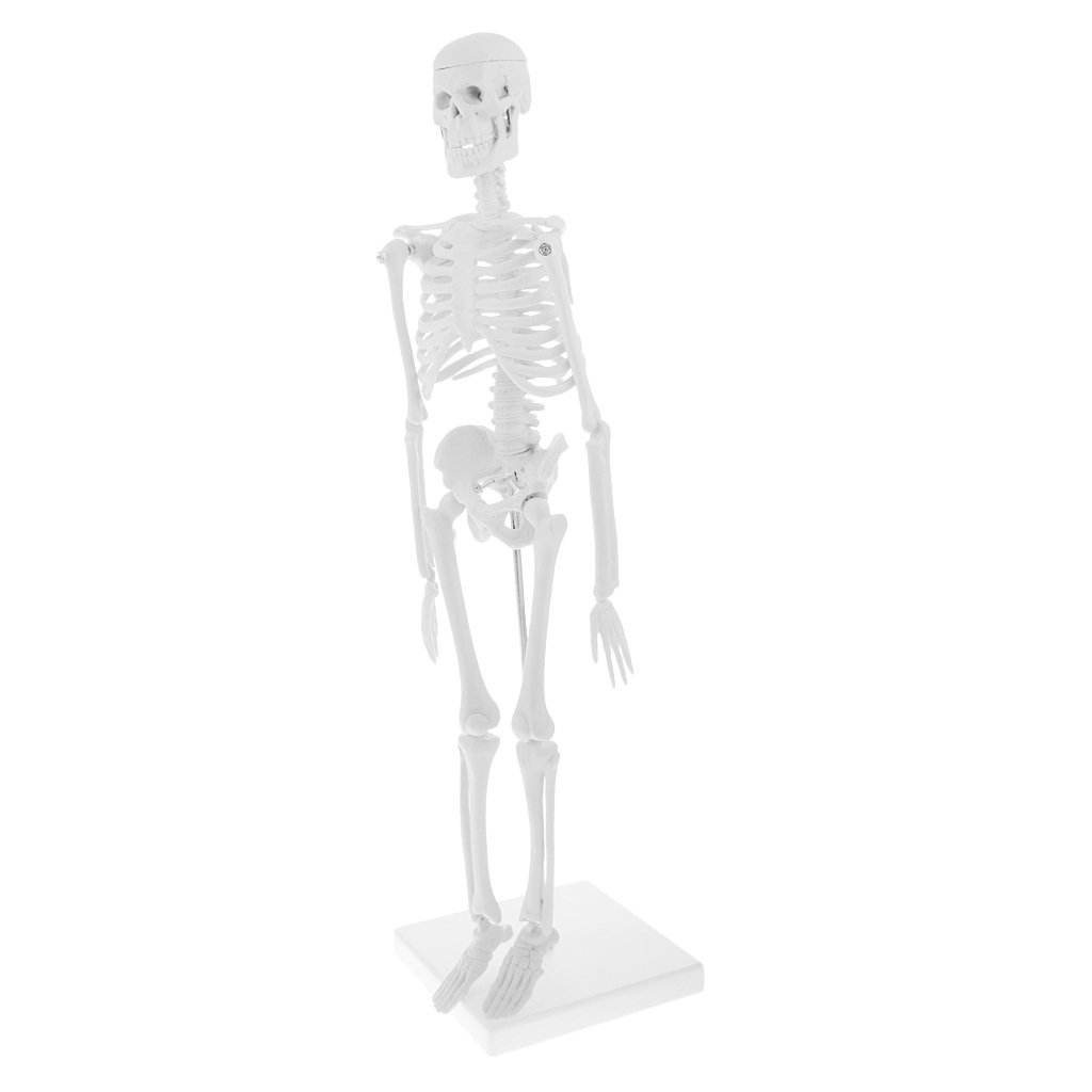 Magideal Pvc Human Body Skeleton Model With Base School Learning