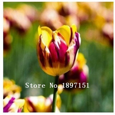 SILKSART 100 Tulip Bulbs Perennial Bulbs for Garden Planting bonsai plant