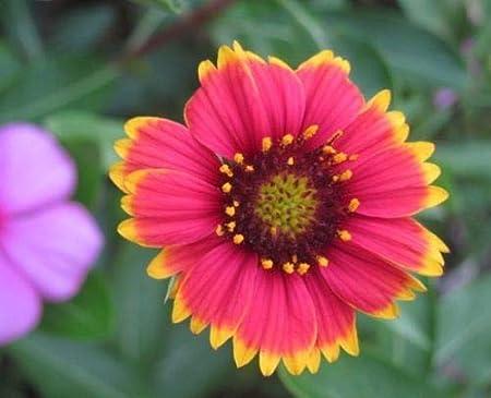 Amazon Com Gaillardia Red Yellow Flower Live Plant Beautiful