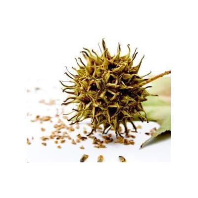 Cheap Fresh Tree Seeds Liquidambar Styraciflua Sweetgum Get 5 Seeds Easy Grow #GRG01YN : Garden & Outdoor