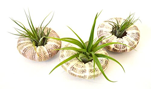 9GreenBox - Air Plant Tillandsia Bromeliads 3 Gift Set with Sea Urchin Holiday by 9GreenBox.com