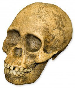 Reconstructed Stone - Taung Child Skull (Reconstructed) (Teaching Quality Recreation)