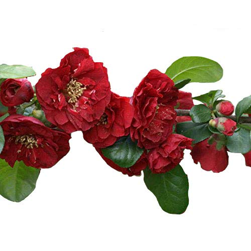 Red Dragons Blood Double Flowering Quince – Chaenomeles – Hardy - Healthy - Perennial - 1 Gallon Potted Plant by Growers Solution
