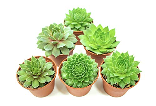 Fractal Succulents (20 Pack) Live Sempervivum Houseleek Succulent Rooted in Pots | Flowering Plant Leaves / Geometric Rosettes by Plants for Pets by Plants for Pets (Image #10)