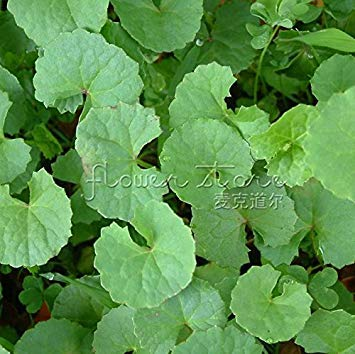 ASTONISH GRAINES DASTONIE 1 paquet de 20 graines Gotu Kola haut Germination taux /Ã/©lev/Ã/© Germination