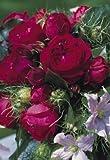 Strauchrose 'Red Eden Rose' -R- im 4 L Container