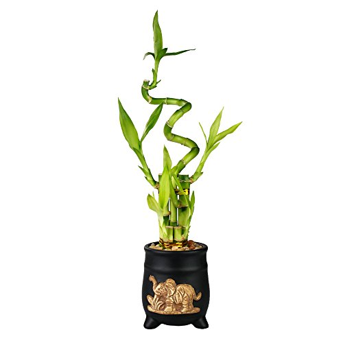 (Lucky Bamboo Five Stalk with Spiral Arrangement with Black Ceramic Elephant Standing Planter)