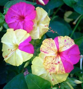 Mirabilis jalapa Broken Colors   Four OClock   Marvel of ...
