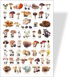 Póster de Common FUNGI y Toadstools, 56 imágenes de hongos comunes, especies venenosas identificadas con impresión roja.: Amazon.es: Juguetes y juegos