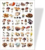 COMMON FUNGI / Toadstools / Mushrooms Poster - 56 Images of Common Fungi - Poisonous Species Are Identified With Red Print.