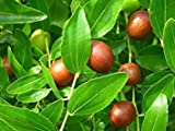 Chinese Date, Ziziphus Jujube, Tree 5 Seeds