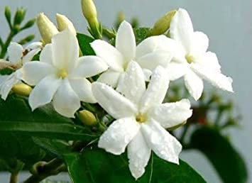 Jasmine Officinale Climbing Plant White Scented Flowers Through