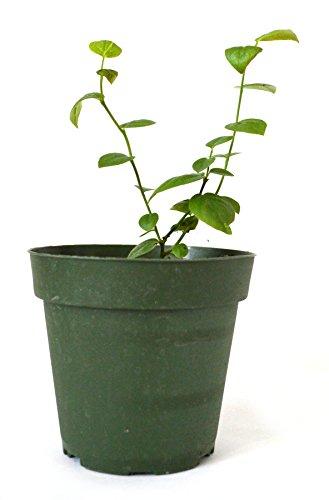 indoor berry bush - 4