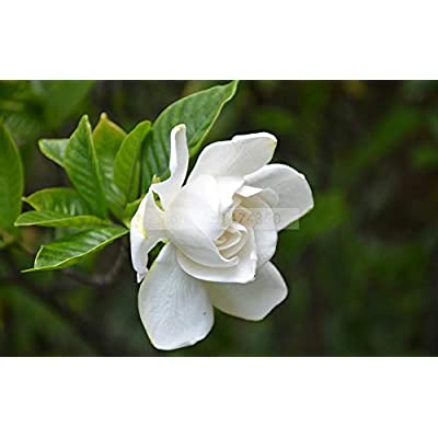 AGROBITS 2PCS / Bag, Gardenia Bonsai, Cape Jasmine Real Bonsai, Potted, Flower Bonsai, The Budding Rate 95%,: Garden & Outdoor