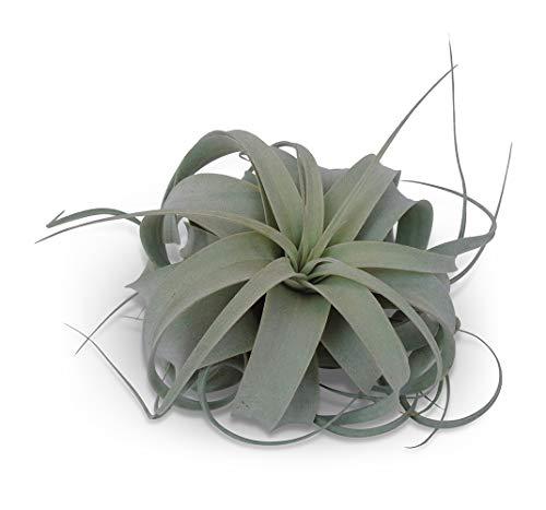 Tillandsia Xerographica Air Plants CTS Air Plants