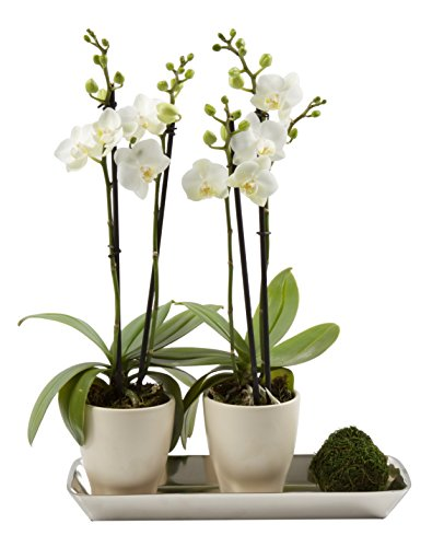 Color Orchids Two Live Blooming Double Stem Phalaenopsis Orchid Plant in Ceramic Pots on Metal Tray, 15''-20'' Tall, White Blooms by Color Orchids