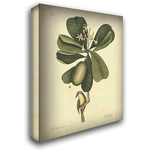 Catesby Bird and Botanical III 32x40 Extra Large Gallery Wrapped Stretched Canvas Art by Catesby, Mark