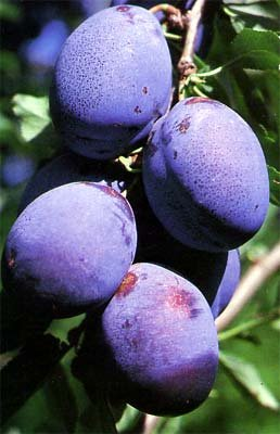 Big Blue Plum Tree 5 Seeds UPC 648620997760 Self Pollinating