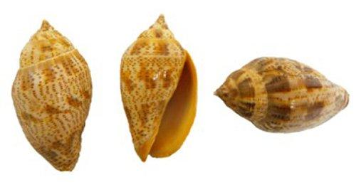 "U.S. Shell 3 to 4"" Voluta Natural Craft Shell"