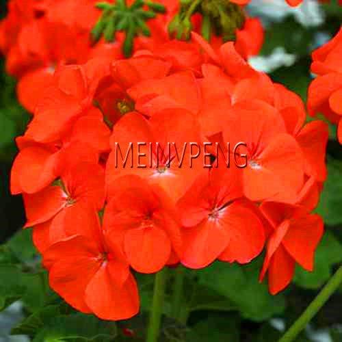 ShopMeeko Seeds:New Arrival!Two-Color Red White Univalve Geranium Bonsai Flower Pelargonium Peltatum Plant for Indoor Rooms 20pcs : Dark Gray
