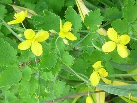 Stylophorum diphyllum 50 GREATER CELANDINE POPPY SEEDS