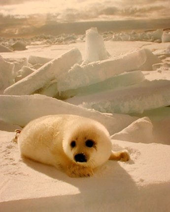 Cute Baby Harp Seal Pup In Snow Animal Nature Wall Art Print Poster