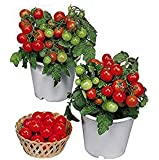 Harley Seeds 30+ Dwarf Red Robin Tomato Seeds, Heirloom Non-GMO, Sweet, Low Acid, Determinate, Open-Pollinated…