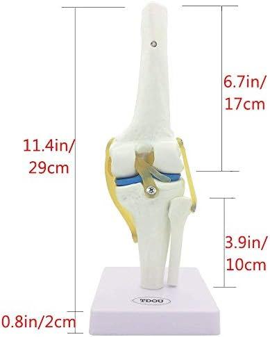 Kniegewrichtsimulatiemodel Medische anatomie Menselijk 1: 1 levensgroot