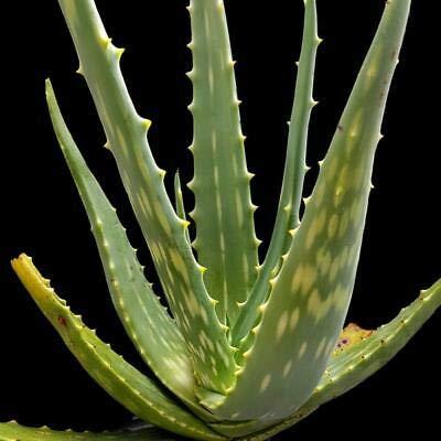 1 Aloe Esculenta Huge Palnts Rare Tree Aloe Quiver Tree Succulent
