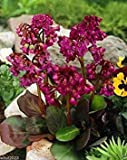 BERGENIA SEEDS-RED-A.K.A. Heart Leaf Bergenia Pig Squeak,Winter hardy to zone 3(30 Seeds)