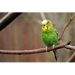 Gifts Delight LAMINATED 36x24 inches Poster: Budgie Bird Parakeet Animals Wildlife Photography Ziervogel Feather Creature Parrot Color Plumage Food Nature Animal World Small Bird Sababurg Castle Zoo