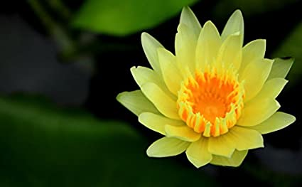 Floral Treasure Yellow Lotus Seeds Pack Of 10 Amazonin Garden