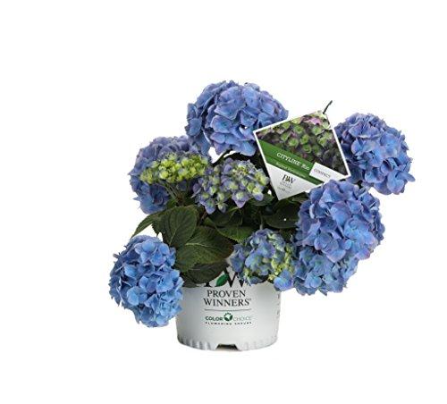(Cityline Rio Bigleaf Hydrangea (Macrophylla) Live Shrub, Blue, Pink and Purple Flowers, 1 Gallon)