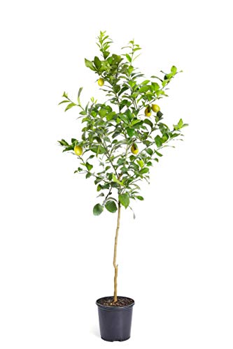 Brighter Blooms Meyer Lemon Tree 4-5 Ft. Tall | Rich and Sweet Meyer Lemons | Thrives in Any Part of The Country | Favorite of Chefs & Bakers All Over The World | No Shipping to FL, CA, TX, LA or AZ (Best Soil For Meyer Lemon Tree)