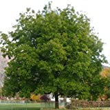 Lakota Grafted Pecan> Carya illinoinensis 'Lakota'> Landscape Ready 5 gallon Container