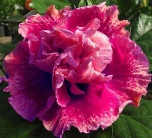 Amazoncom 10 Dinnerplate Hibiscus Strawberry Shake Perennial