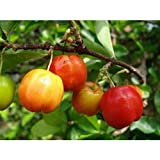 Barbados-Cherry Tropical Fruit Trees 3-4 Feet Height in 3 Gallon Pot #BS1
