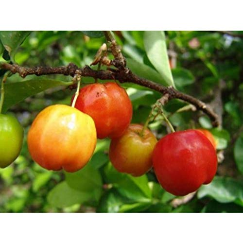 Barbados-Cherry Tropical Fruit Trees 3-4 Feet Height in 3 Gallon Pot #BS1 by iniloplant (Image #3)