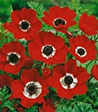10 Anemone coronaria - 'Hollandia' bulbs