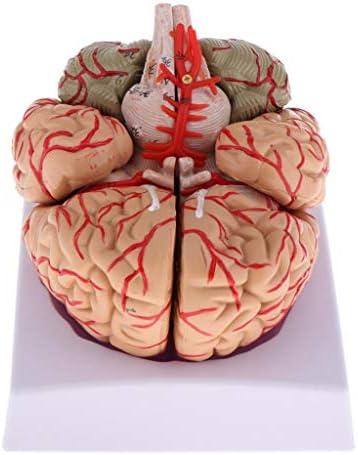 yotijar Medisch Anatomisch Model van De Menselijke Hersenanatomie Cerebrale Cortex Hersenzenuw