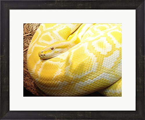 - Albino Burmese Python Framed Art Print Wall Picture, Espresso Brown Frame, 19 x 16 inches
