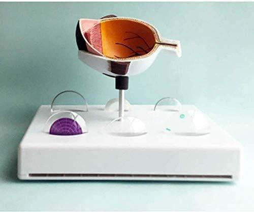 Torsomodel van het menselijk lichaam Model Educatief model Anatomisch orgaan Menselijk oog - Oogmodel van glaucoom