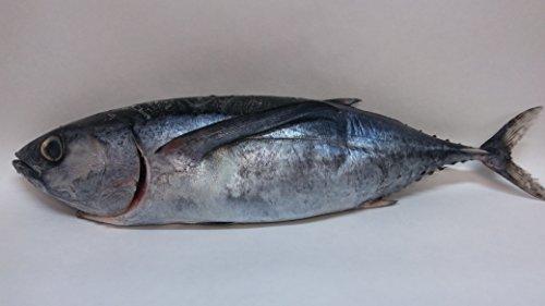 ALBACORE TUNA FROZEN FRESH WHOLE FISH